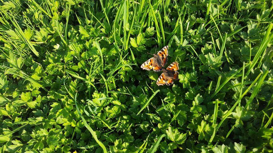 Butterflies in lush grass Lush Grass Spring Springtime Butterfly
