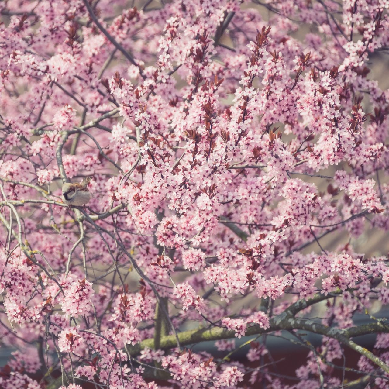 flowering plant, flower, plant, fragility, beauty in nature, freshness, growth, pink color, vulnerability, springtime, tree, blossom, nature, branch, day, cherry blossom, no people, botany, close-up, outdoors, cherry tree, flower head, bunch of flowers, spring, softness, lilac