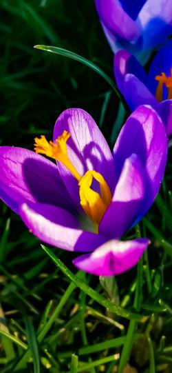 Close-up of purple crocus flower on field