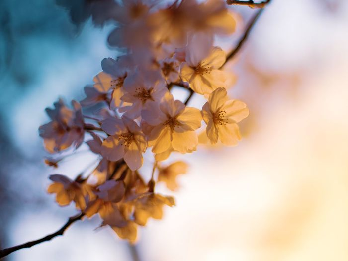 Sunset_collection Twilight Cherry Blossom EyeEm Selects Plant Close-up Nature Beauty In Nature No People Flowering Plant Flower Head