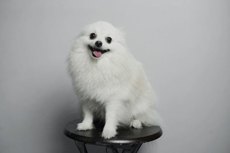 Close-up of a dog against white background