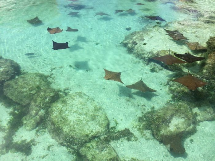 High Angle View Of Stingrays Swimming In Water