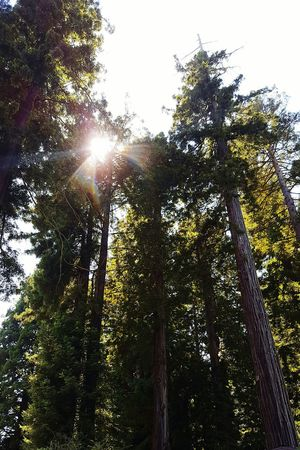 Redwoods RedwoodTrees Redwood Forest Trees Hanging Out Taking Photos Nature Nature_collection Nature Photography Naturelovers Freshness Green Greenery Talltrees The Great Outdoors - 2017 EyeEm Awards