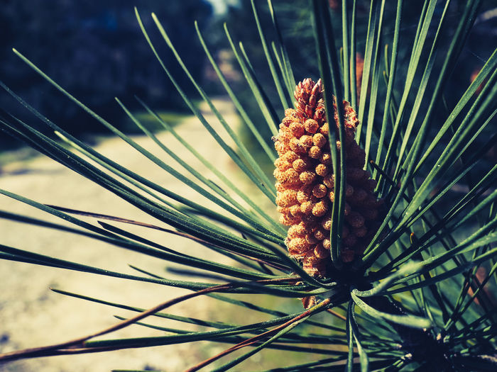 Close-up of pine cone on plant