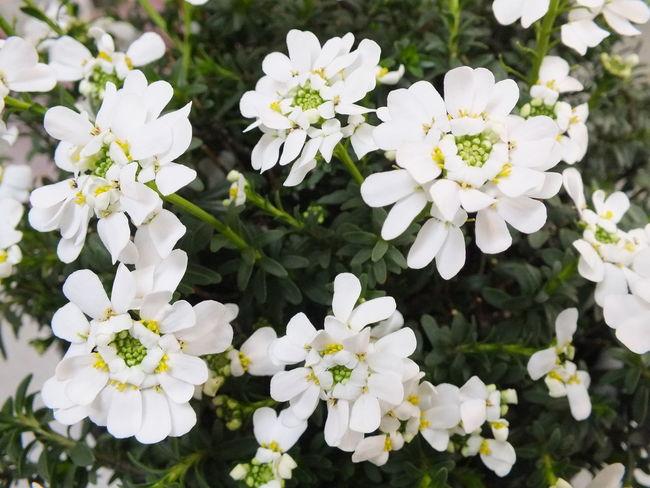 """""""イベリス"""" Beautiful Flower Flowers Cute♡ Flowerporn Flower gardening"""