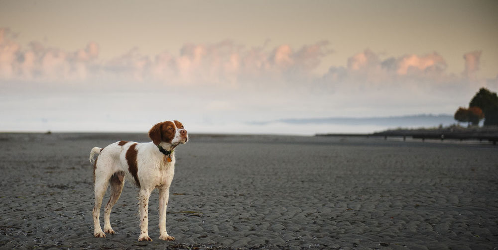 Brittany spaniel on shore at beach against sky