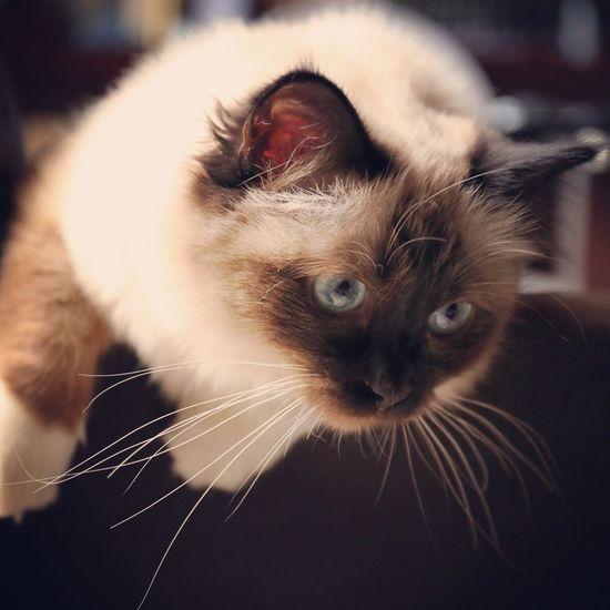 Cat Sacredebirmanie Chocolate Blue Eyes Chilling Playing Juna