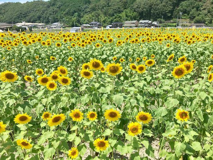 Summer Japan Sunflower Yellow Nature Flower Day