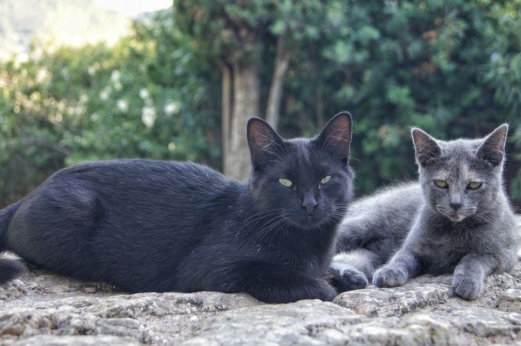 Cats Of EyeEm Mallorca SPAIN Animal Themes Black Cats Cat Cats Close-up Day Domestic Animals Domestic Cat Feline Focus Looking At Camera Mammal Nature No People Outdoors Pets Portrait Sitting Togetherness