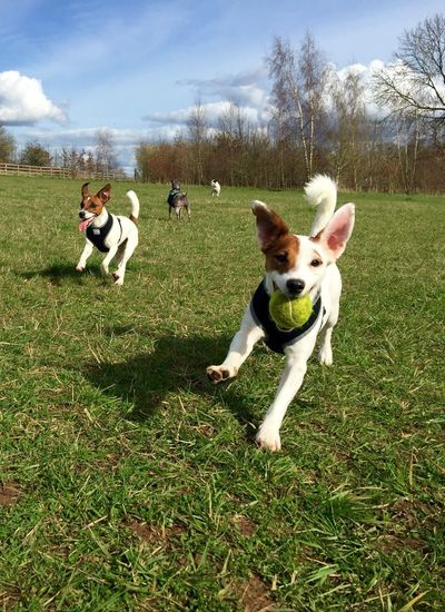 Playful dogs running at park