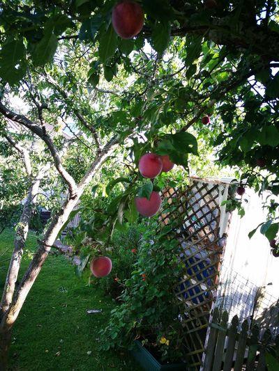 Yum yum plum Growth Day Outdoors Tree Nature Plum Tree
