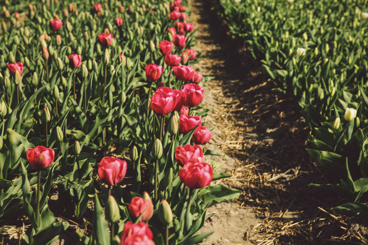 Red Tulips Blooming On Field