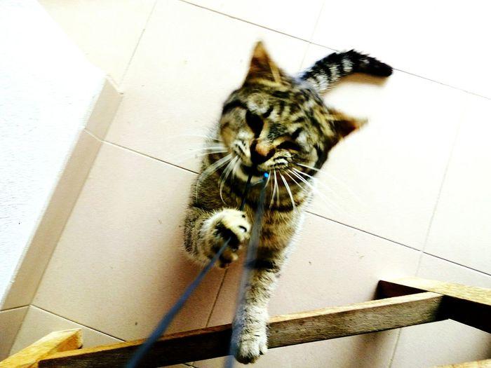 Domestic Cat Playing Eye