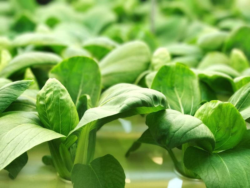 Cleaned Green Green Color Green Vetgetables Hydroponics Hydroponic Vegetables Nature Veggies Veggie Beauty In Nature Tree EyeEmNewHere Visual Feast