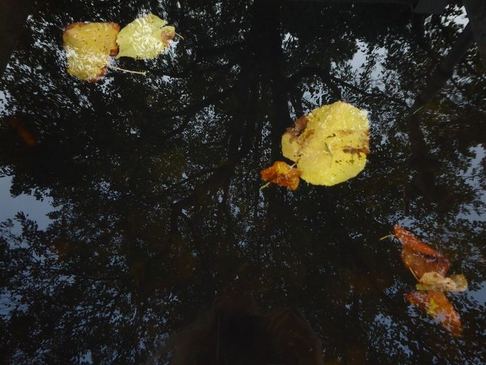 reflections in a puddle🤗 Puddle Reflections Puddleography Beauty In Nature Simple Beauty Simple Photography For My Friends 😍😘🎁 Lucky Me🦄 Happy Moment♥ Thankful🦄 In Motion, Life Is Motion Swimming Leaves🙄 Mood Captures Autuumbeauty🤗 Beauty In Evanescence Water Yellow Flower Underwater Tree Close-up Sky