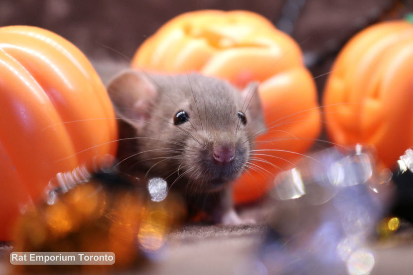 Rats from Rat Emporium Toronto Cute Pet Cute Pets Halloween Pet Photography  Pets Corner Adorable Adorable Pets Animals' Love Baby Animal Baby Animals Cute Cute Rats Dumbo Rat Dumbo Rat Breed Dumborat Halloween R Pet Rat Pet Rats Pets Rats Ratstagram Sable Sable Rat Siamese Siamese Rat First Eyeem Photo