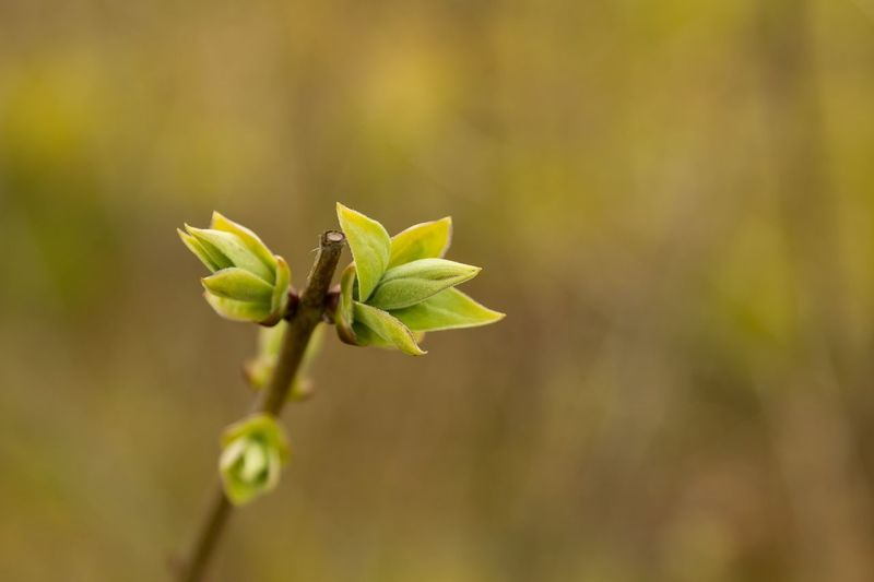 Close up of buds on a twig