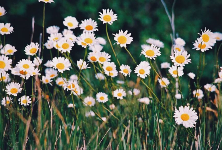 Daisies in a Field Flower Petal Fragility Plant Nature Growth Freshness Flower Head Blooming Beauty In Nature Day No People Close-up Outdoors Yellow