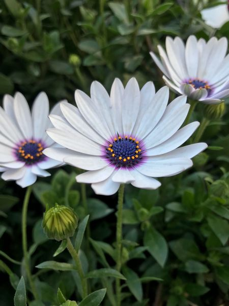 Flowers Flowering Plant Flower Plant Petal Freshness Osteospermum Growth Nature Pollen Beauty In Nature Flower Head Fragility Focus On Foreground High Angle View Close-up No People Inflorescence Vulnerability  Day Purple