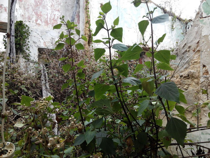 Green Color Leaf Growth Nature Day Plant No People Outdoors Ivy Branch Beauty In Nature Close-up Tree Freshness Sky Ruins View Ruined Buildings Ruins Of Building Ruins Of A Past Ruinas Ruins_photography Ruine Ruins Architecture Ruined Building Ruins