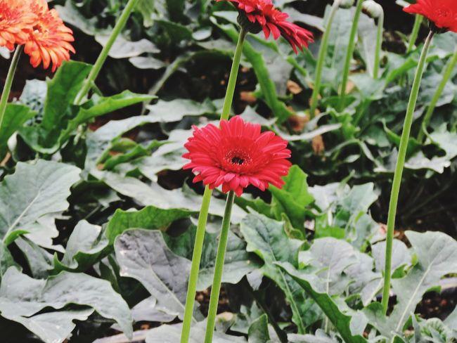 Redsunflower Boche NatuaralBeauty First Eyeem Photo