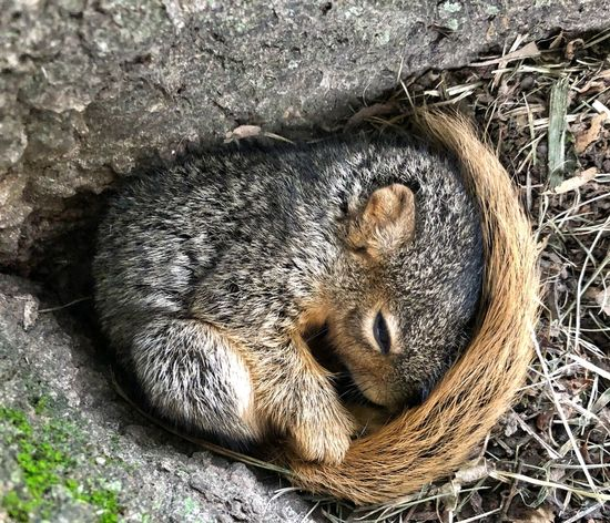 Sleepy squirrel Squirrel! Animal Themes Animal One Animal Mammal Vertebrate High Angle View Nature Field Resting Day Land Sunlight