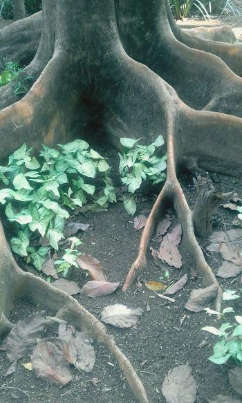 Tree Arvore Day Nature Tree Raizes Raiz