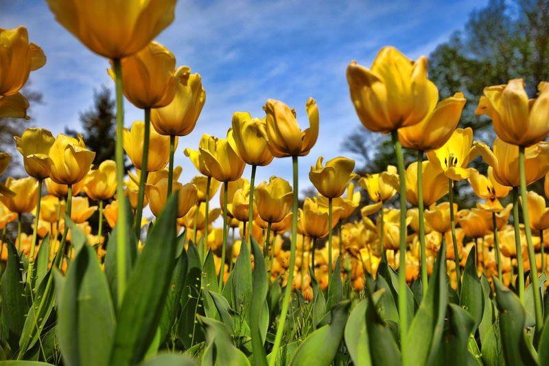 Tulips Flower Growth Yellow Nature Plant Beauty In Nature Petal Fragility Field No People Blooming Outdoors Day Freshness Sky Close-up Flower Head