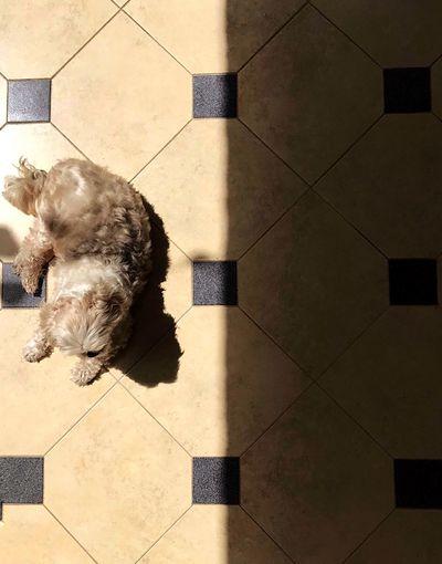 High angle view of a dog on tiled floor