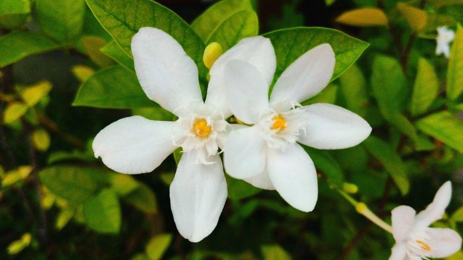 ดอกพุด Sunny Day In Garden Flowers Ervatamia White Flower Plants And Flowers Thai Flowers Natural Beauty