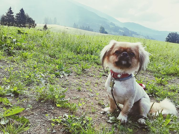 Pets Portrait Dog Looking At Camera Sitting Sky Grass