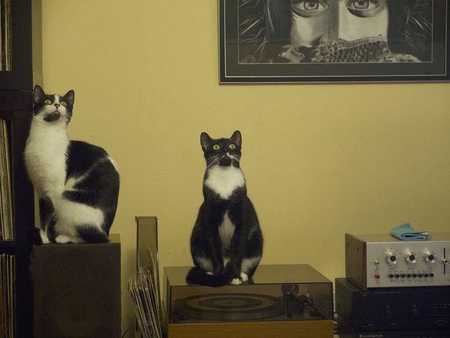 une mouche au plafond Cats Chats Domestic Cat Home Portrait