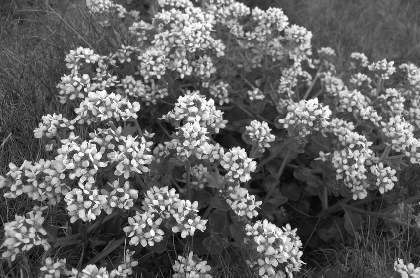 Nature Pembrokeshire Black And White Blackandwhite Coastpath No People Outdoors Out For A Walk Beauty In Nature Coast Pembrokeshire Coast Newgale Flowers