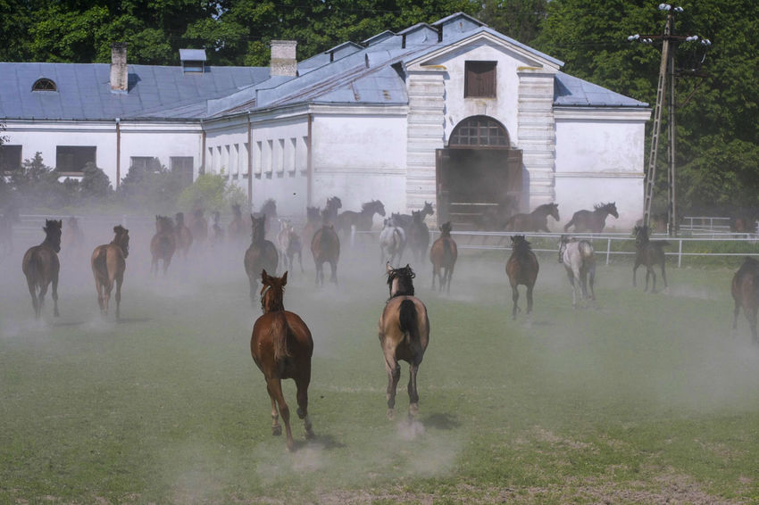Arabian Horses Day Domestic Animals Gallop Galloping Herd Of Horses Horse Horse Stud Horses Large Group Of Animals Mammal Nature Outdoors Stable Togetherness