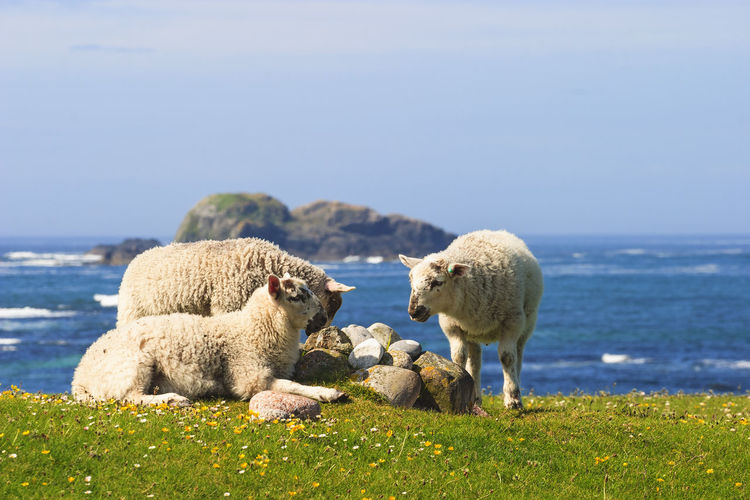 View of sheep on rock by sea against sky