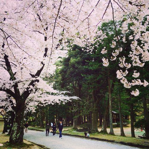 Walking on the flower street (2) Niigata Spring Sakura Annew/niigata