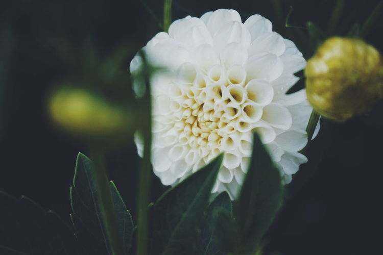 white chrysanthemum Chrysanthemum White Purity White Flower White Flowers Garden Photography Garden Flowers Flower Head Flower Peony  Petal Beauty Leaf Yellow Springtime Close-up Plant Plant Life In Bloom Botany Blooming Flowering Plant