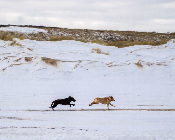 Dogs Chase Along The Beach In Winter Dogs In Snowy Beach Landscape Dogs In Winter Landscape Dogs On Beach Evening Run Running Free Winter Run