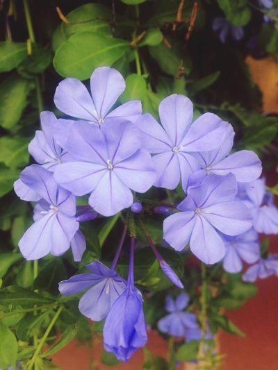 Bluesky Blues Flower