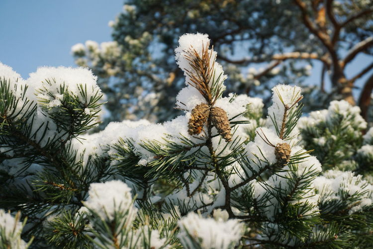 snow covered branches and cones Cone Cones Tree Tree Branch Branches Snow Snow Covered Snow Covered Branch Snow Covered Tree Winter Nature Pine Tree Pinaceae Growth Plant Winter No People Tree Needle - Plant Part Day Snow Beauty In Nature Outdoors Close-up