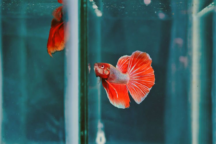 Orange fish swimming in glass window