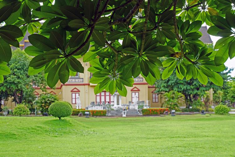 Plumerias bush