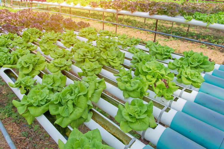 Green Color Vegetable High Angle View Freshness Food And Drink Healthy Eating Growth No People Food Plant Wellbeing Nature Lettuce Day Leaf Plant Part Organic Leaf Vegetable In A Row Large Group Of Objects Outdoors Herb Plant Nursery Gardening