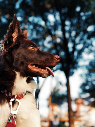 Happy Border Collie Focus Border Collie Border Collie Brown Border Collie Pup Chocolate Border Collie Dog Domestic Animals Focus On Foreground One Animal Pet Collar Pets
