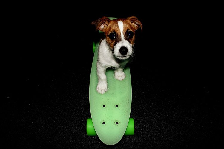 Close-Up Of Pet Dog On Green Skateboard