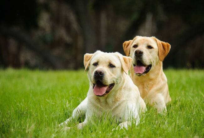 Yellow Labrador Retriever dog Animal Themes Day Dog Grass Labrador Retriever Mouth Open No People Outdoors Pet Pets Two Dogs Yellow Labrador Yellow Labrador Retriever