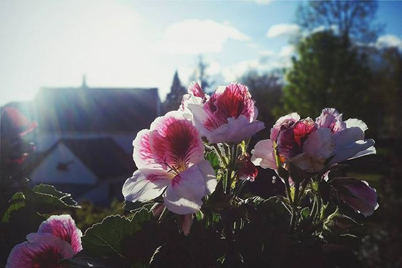 flower, pink color, beauty in nature, growth, nature, fragility, petal, day, no people, flower head, plant, outdoors, freshness, peony, close-up, sky