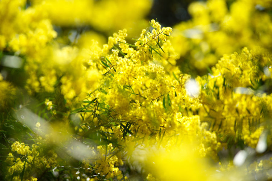 Wattle Wattle Flower Springtime Spring Yellow Plant Flower Beauty In Nature Selective Focus Flowering Plant Freshness Day Sunlight