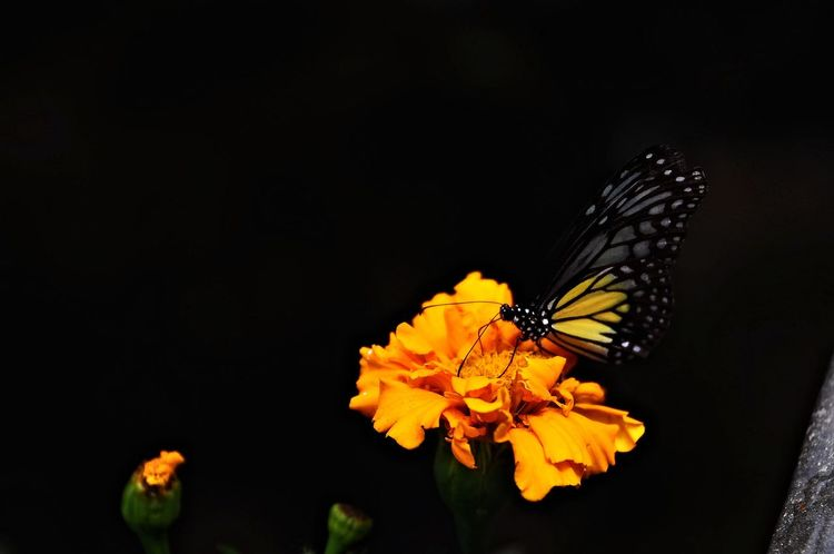 Flower Beauty In Nature Close-up Black Background No People Nature Plant Animals In The Wild Butterfly - Insect
