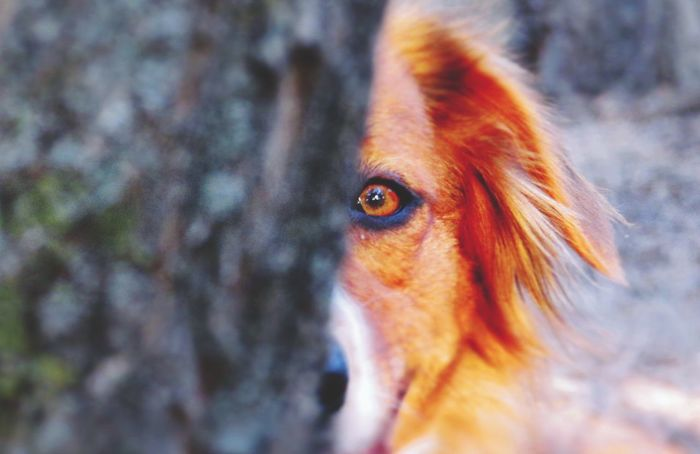 Peekaboo! English Shepherds First Eyeem Photo New Years Resolutions 2016 Trees I Love My Dog Dogs Eyes Forest Natural Beauty Fall Beauty Farm Life Country Life Outdoors Close-up Nature Adventure Buddies